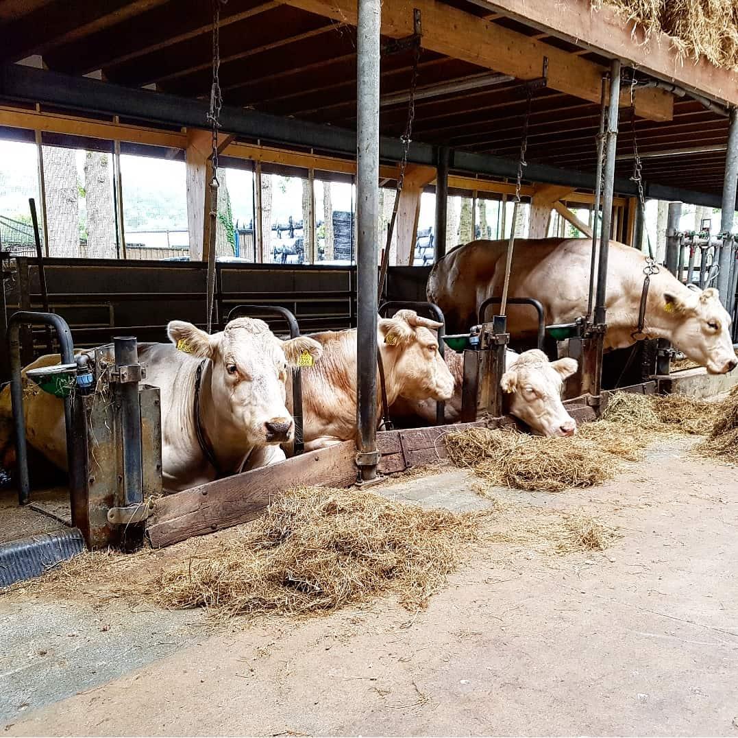 Koeien in de stal die wachten tot hun bevalling!